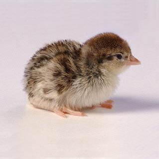 Hungarian Partridge, Chicks