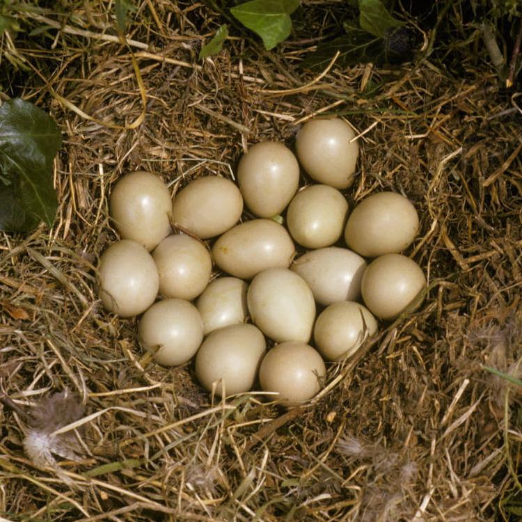 Hungarian Partridge, Hatching Eggs