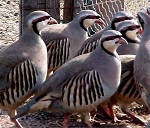 Chukar Partridge, Adult Flight Birds