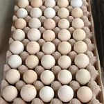 Chukar Partridge, Hatching Eggs