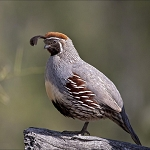 Gambel's Quail, Adult Flight Birds (Sold in Pairs)