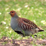 Hungarian Partridge, Adult Flight Birds