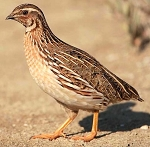 Jumbo Brown Coturnix Quail, Adult Flight Birds
