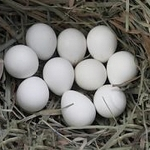 Northern Bobwhite Quail, Hatching Eggs