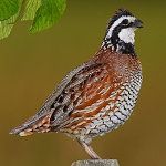 Northern Bobwhite Quail, Adult Flight Birds