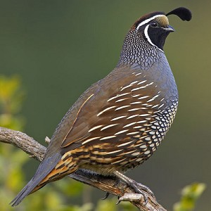 Valley Quail, Adult Flight Birds (Sold in Pairs)